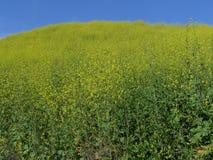 Fiori selvaggi Aliso Viejo CA U.S.A. della collina dell'aquilone Fotografia Stock
