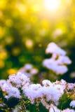 Fiori selvaggi bianchi Fotografie Stock