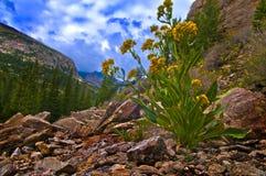 Fiori selvaggi Colorado Immagini Stock