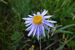 Fiori selvaggi del crisantemo Fotografie Stock
