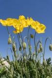 Fiori selvaggi del papavero che fioriscono nell'aria aperta immagine stock