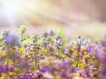 Fiori selvaggi del prato illuminati da luce solare Fotografie Stock Libere da Diritti
