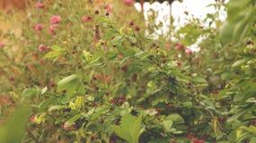 Fiori selvaggi del tipo di bacca rosa in fragole di bosco verdi del giardino di fiore immagine stock