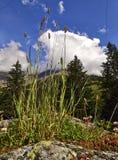 Fiori selvaggi della montagna Fotografia Stock Libera da Diritti