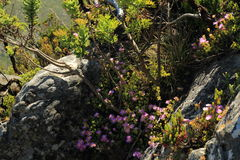 Fiori selvaggi della montagna della Tabella Fotografia Stock