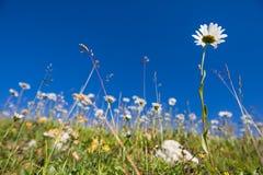 Fiori selvaggi della prateria nel campo di erba verde con cielo blu immagini stock