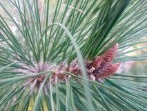 Fiori selvaggi delle conifere Fotografia Stock Libera da Diritti