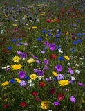 Fiori selvaggi di fioritura Colourful in un prato idilliaco di tempo di molla Fotografie Stock Libere da Diritti