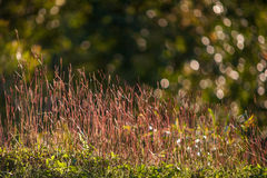 Fiori selvaggi di rosa del prato nel campo di autunno Immagini Stock Libere da Diritti
