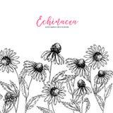 Fiori selvaggi disegnati a mano Fiore di echinacea purpurea Erba medica Arte incisa annata Composizione nel confine Buon per royalty illustrazione gratis