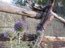 Fiori selvaggi e recinto rurale Fotografie Stock