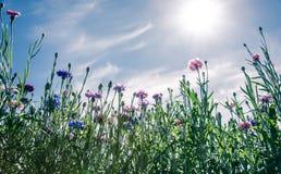 Fiori selvaggi, fiordalisi, fiorenti sopra il cielo blu Immagini Stock