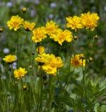 Fiori selvaggi gialli Immagine Stock