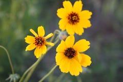 Fiori selvaggi gialli Fotografia Stock