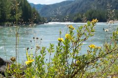 Fiori selvaggi gialli contro lo sfondo di un fiume e delle montagne Immagini Stock Libere da Diritti