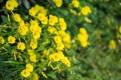 Fiori selvaggi gialli minuscoli e fondo vago della natura Chiuda sulla vista Fotografie Stock