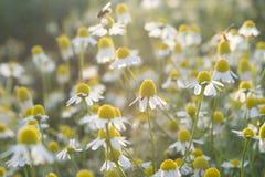 Fiori selvaggi nel campo circondato con le erbacce e l'erba asciutta fotografia stock