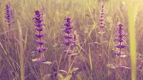 Fiori selvaggi romantici nel giacimento di primavera Fotografia Stock