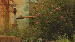 Fiori selvaggi rosa con la valvola d'annata della tubatura dell'acqua - retro fondo della parete immagine stock
