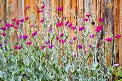 Fiori selvaggi rosso magenta Fotografia Stock