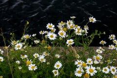 Fiori selvaggi su un molo della spiaggia Fotografie Stock Libere da Diritti