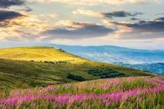 Fiori selvaggi sulla collina della montagna ad alba Immagine Stock