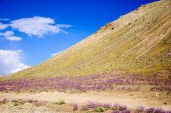 Fiori selvaggi sulle montagne sul modo a Lamayuru Immagini Stock