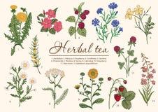 Fiori selvaggi tè selettivo naturopathy di infusione di erbe di vetro del horsetail del fuoco del equisetum della tazza del arven illustrazione di stock