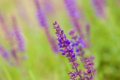 Fiori selvaggi viola Fotografia Stock
