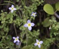 Fiori selvaggi viola nel legno Fotografia Stock