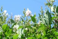Fiori, semi e foglie lilla bianchi sul fondo del cielo blu Immagine Stock