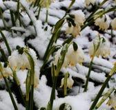Fiori sotto neve Fotografie Stock Libere da Diritti