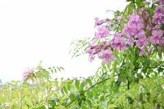 Fiori spagnoli in giardino con il cielo luminoso fotografia stock