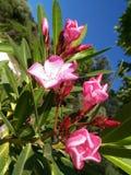 Fiori speciali di rosa del primo piano immagini stock