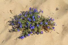 Fiori in spiaggia di Almograve Immagine Stock