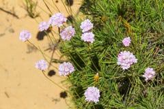 Fiori in spiaggia di Almograve Fotografia Stock Libera da Diritti