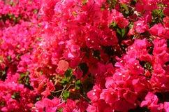 Fiori splendidi e delicati della buganvillea su Tenerife Fotografia Stock