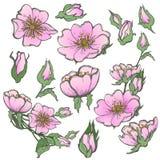 Fiori stabiliti della rosa canina selvatica con i germogli che disegnano clipart di vettore su fondo bianco per scrapbooking Immagini Stock