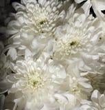 Fiori strutturati, crisantemi Crisantemi su un backg scuro Fotografie Stock Libere da Diritti