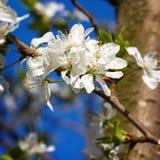 Fiori su un ramo dell'albero da frutto Fotografia Stock Libera da Diritti