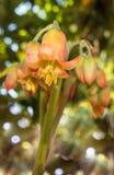 Fiori succulenti della pianta medicinale dell'orecchio dei maiali Fotografia Stock Libera da Diritti