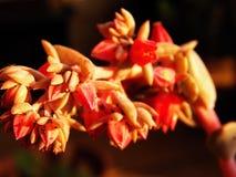 Fiori succulenti in tonalità del rosa Fotografia Stock