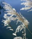 Fiori sul fiume, cielo blu della canna Fotografie Stock