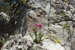 Fiori sulla roccia Fotografie Stock Libere da Diritti