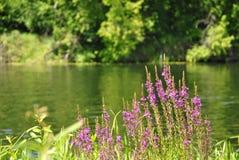 Fiori sulla sponda del fiume Fotografia Stock Libera da Diritti