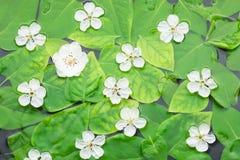 Fiori sulle foglie in acqua Immagine Stock