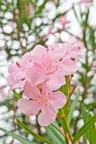 Fiori in tailandese, Tailandia della Rosa di deserto Fotografie Stock