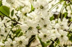 Fiori teneri del mazzo della primavera del ciliegio Immagini Stock Libere da Diritti