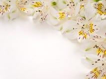 Fiori teneri di alstroemeria Fotografia Stock