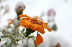Fiori in tensione nella prima neve di inverno. Fotografie Stock Libere da Diritti